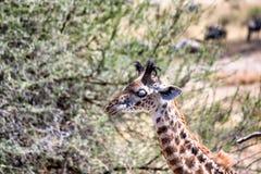 Giraffes in Tarangire stock images