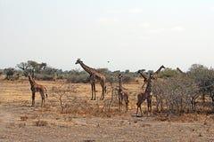 Tarangire giraffes. Giraffes in the tarangire park in tanzania Royalty Free Stock Images