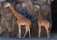 Giraffes in Taronga Zoo, Sydney. Two giraffes in Taronga Zoo, Sydney Royalty Free Stock Photography
