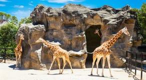 Giraffes at Taronga Zoo, Sydney. Australia. Royalty Free Stock Photography