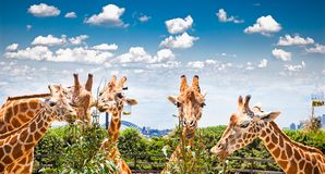 Giraffes at Taronga Zoo, Sydney. Australia. Giraffes at Taronga Zoo, Sydney looks towards the harbour bridge. Australia Royalty Free Stock Image