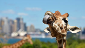 Giraffes in Taronga Zoo Sydney New South Wales Australia. Funny Giraffe poking a tongue out against Sydney skyline in Taronga Zoo in Sydney New South Wales Royalty Free Stock Photos