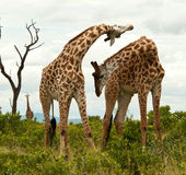 Giraffes in territorial dispute. Royalty Free Stock Images