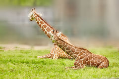 Giraffes their natural habitat. royalty free stock images
