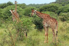 Giraffes in Thickets. Giraffes stroll through the grassland and thickets Royalty Free Stock Photo