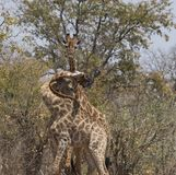 Giraffes, three of them, with tangled necks. And heads during a fight. Kruger National Park, South Africa royalty free stock image
