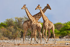 Giraffes. Three giraffes walking in Etosha National Park Royalty Free Stock Photography