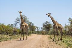 Giraffes together in Kruger Park stock images