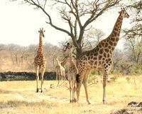 Giraffes together. The giraffes was near a small water holes in the reserve. Very relaxing Royalty Free Stock Image