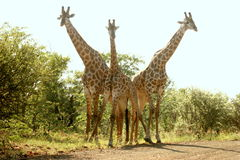 Giraffes trio Royalty Free Stock Images