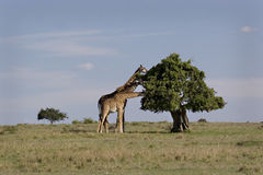 giraffes trois Photo stock