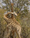 Giraffes, with twisted necks, one standing tall, one showing teeth, Kruger National Park, South Africa stock photos
