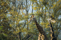 Giraffes. Two amazing giraffes in a zoo park royalty free stock photos