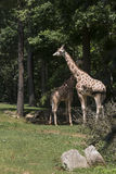 Giraffes. Two giraffes at the Asheboro Zoo in North Carolina on a sunny day stock image