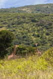 Giraffes Two Landscape  Royalty Free Stock Photography