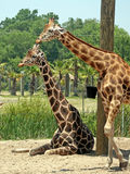 Giraffes. Two Giraffes in a large safari park Royalty Free Stock Image