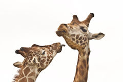 Giraffes. Two giraffes meeting up (close up of faces Stock Images