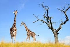 Giraffes Royalty Free Stock Photography
