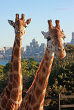 Giraffes in urban zoo Stock Photo