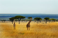 Giraffes on the vast plains of the Masai Mara Royalty Free Stock Photography