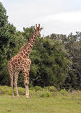 Giraffes vertically Stock Photo