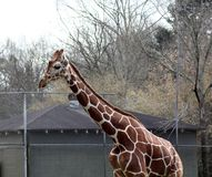 Reticulated giraffe stands high above the chain link fence stock photos
