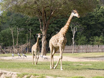 Giraffes walking Royalty Free Stock Photo