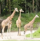 Giraffes walking along in a wildlife park Royalty Free Stock Photo