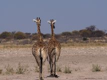 2 Giraffes walking away in Central Kalahari Game Reserve. 2 adult giraffes walking away from waterhole at Central Kalahari Game Reserve, Botswana. They walk away Royalty Free Stock Image