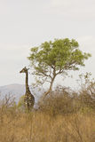 Giraffes walking in the bush , Kruger, South Africa Stock Images