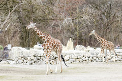 Giraffes walking in the countryside Royalty Free Stock Photo