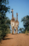 Giraffes walking down the road Royalty Free Stock Photos