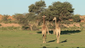 Giraffes walking in dry riverbed. Two giraffes (Giraffa camelopardalis) walking in a dry riverbed, Kalahari desert, South Africa stock footage