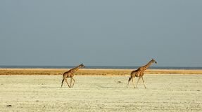 Giraffes walking through saltpan. Two giraffes walking through the etosha salt pan in namibia Stock Photo