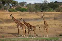 Giraffes walking in the savanna Stock Image