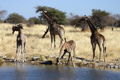 Giraffes at the waterhole Royalty Free Stock Photo