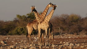 Giraffes at a waterhole - Etosha stock video footage