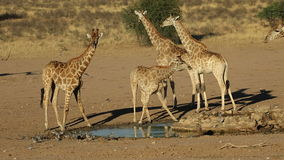 Giraffes at a waterhole stock video footage