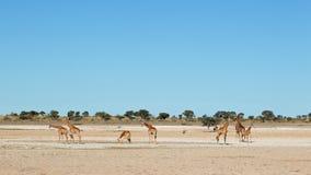 Giraffes at waterhole stock image