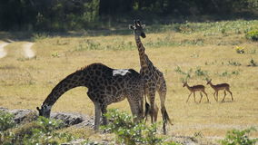 Giraffes at waterhole. Two giraffes and impala antelopes at a waterhole, Sabie-Sand nature reserve, South Africa stock footage