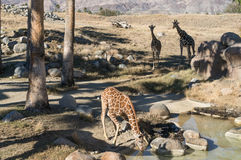 Giraffes at the watering hole Stock Photos