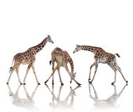 Giraffes   On White Background Royalty Free Stock Photo