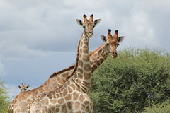 Giraffes - Who are you ? Stock Photography
