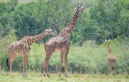 Giraffes in the Wild. African Safari in Maasai Mara, Nairobi, Kenya Royalty Free Stock Photos