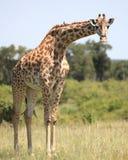 Giraffes. Wild giraffe in Masai Mara national park Royalty Free Stock Image