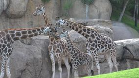 A giraffes in wild