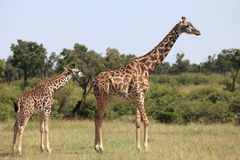 Giraffes. Wild giraffes in Masai Mara national park Stock Photography