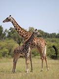 Giraffes. Wild giraffes in Masai Mara national park Stock Photos
