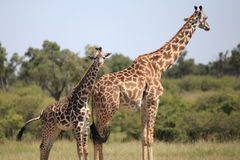Giraffes. Wild giraffes in Masai Mara national park Royalty Free Stock Images
