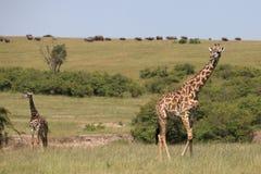 Giraffes. Wild giraffes in Masai Mara national park Royalty Free Stock Photo